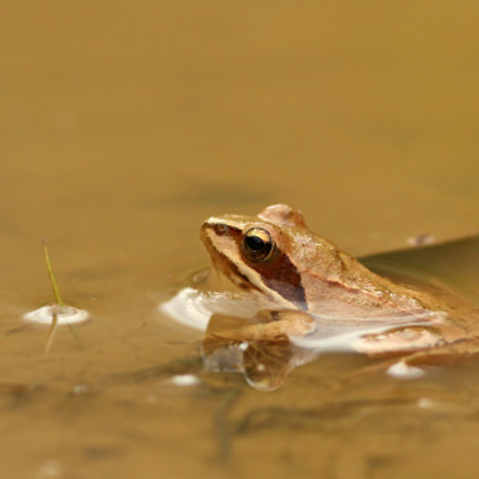 Little frog..., Canon EOS 1200D, Sigma 105mm f/2.8 Macro EX