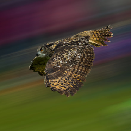 flying owl, Canon EOS-1D X, Canon EF 200mm f/2L IS