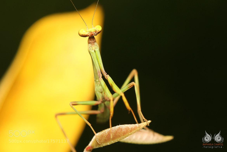 Photograph Mantis by Macro Vida on 500px