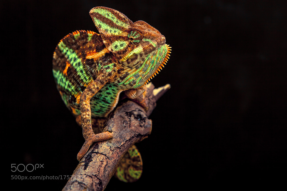 Photograph Yemen chameleon by Arturas Kerdokas on 500px