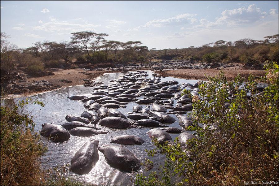 Hipopotams of Serengeti