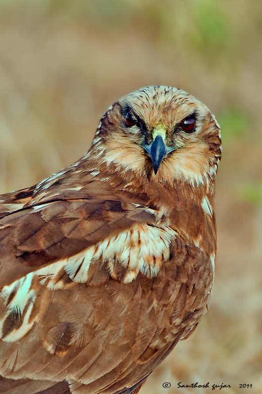 Photograph Up Close-- Marsh Harrier Female--Juvnile by Santhosh Gujar on 500px