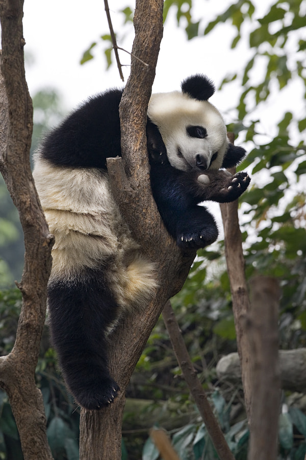 Photograph sleeping panda by David Hobcote on 500px