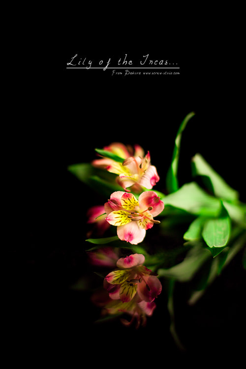 Photograph Lily of the Incas. by Miss Sakura on 500px