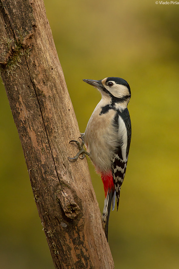 Photograph Great Spotted Woodpecker by Vlado Pirša on 500px