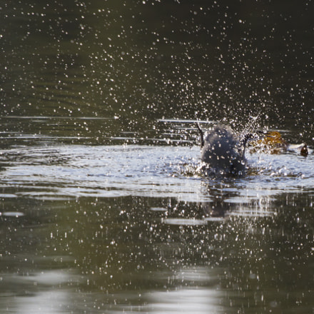 Bathing, Canon EOS 7D, Canon EF 70-200mm f/4L