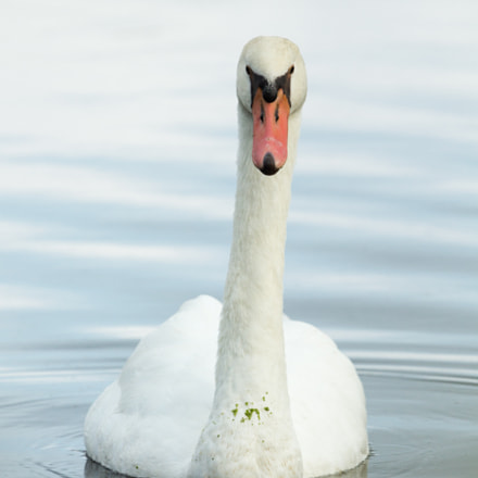 Mute Swan, Canon EOS REBEL T3, Canon EF 100-400mm f/4.5-5.6L IS