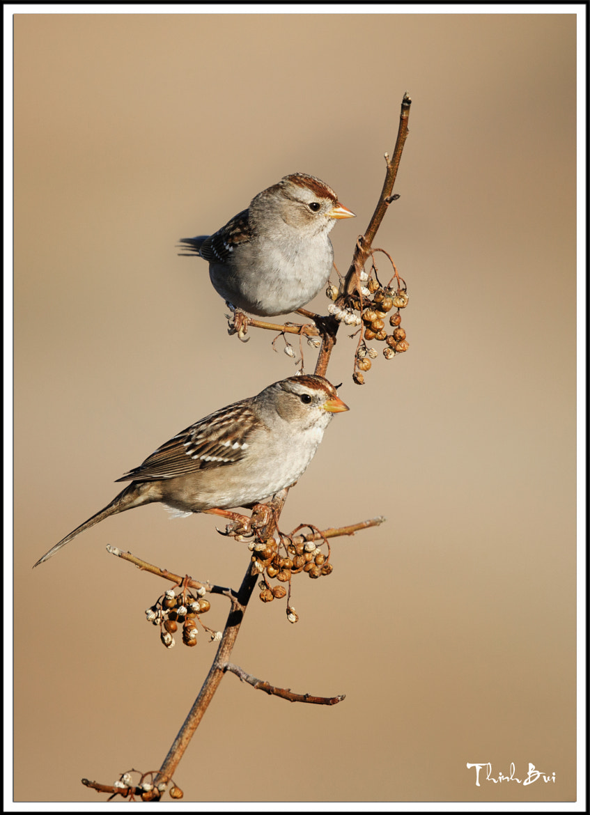 Photograph Sparrow by Thinh Bui on 500px