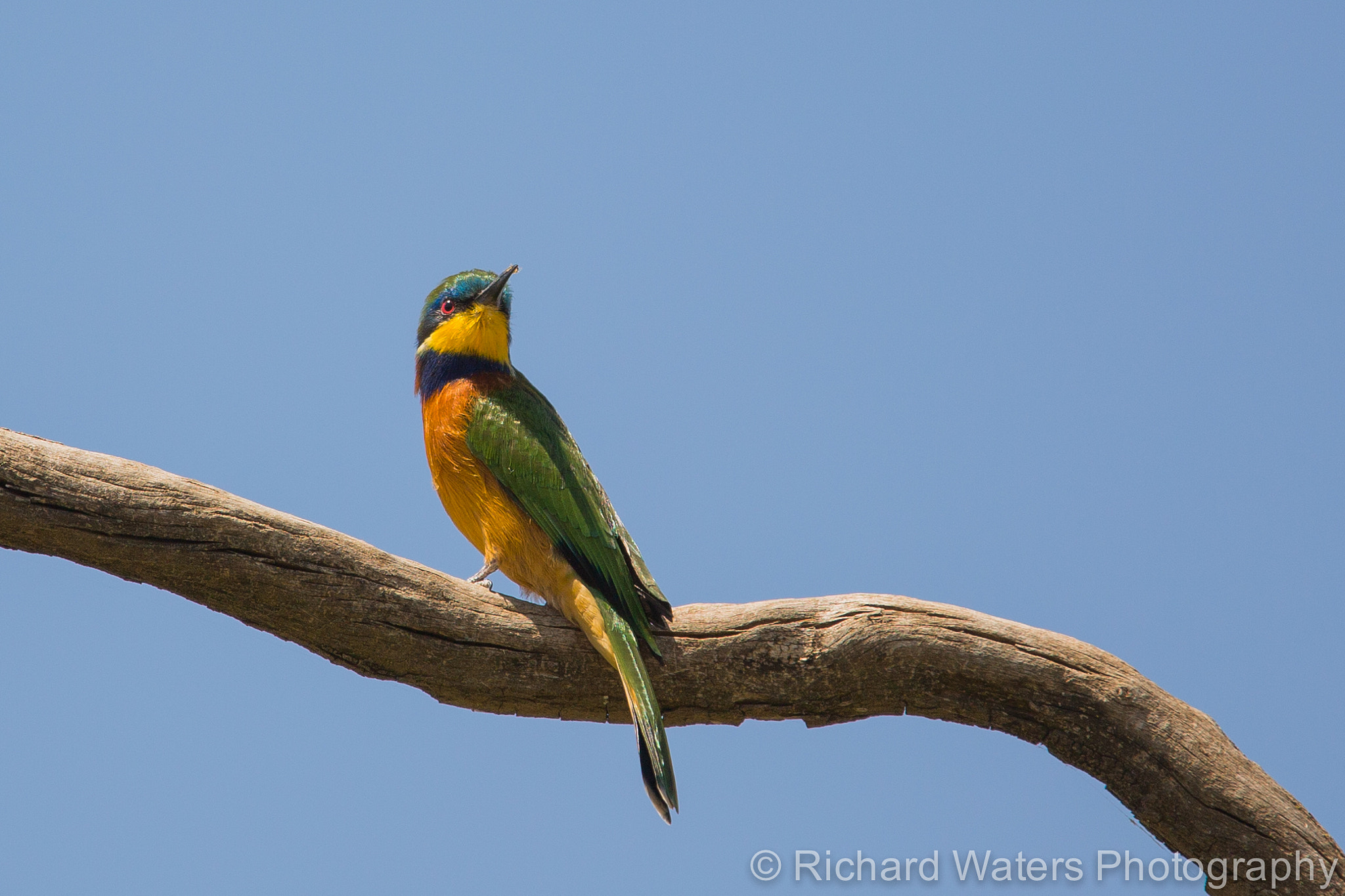 Photograph Little Bee-eater (Merops pusillus) by Richard Waters on 500px