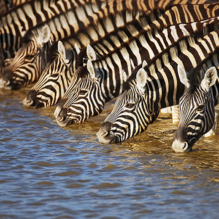 Zebras drinking, Canon EOS-1DS MARK III, EF600mm f/4L IS USM