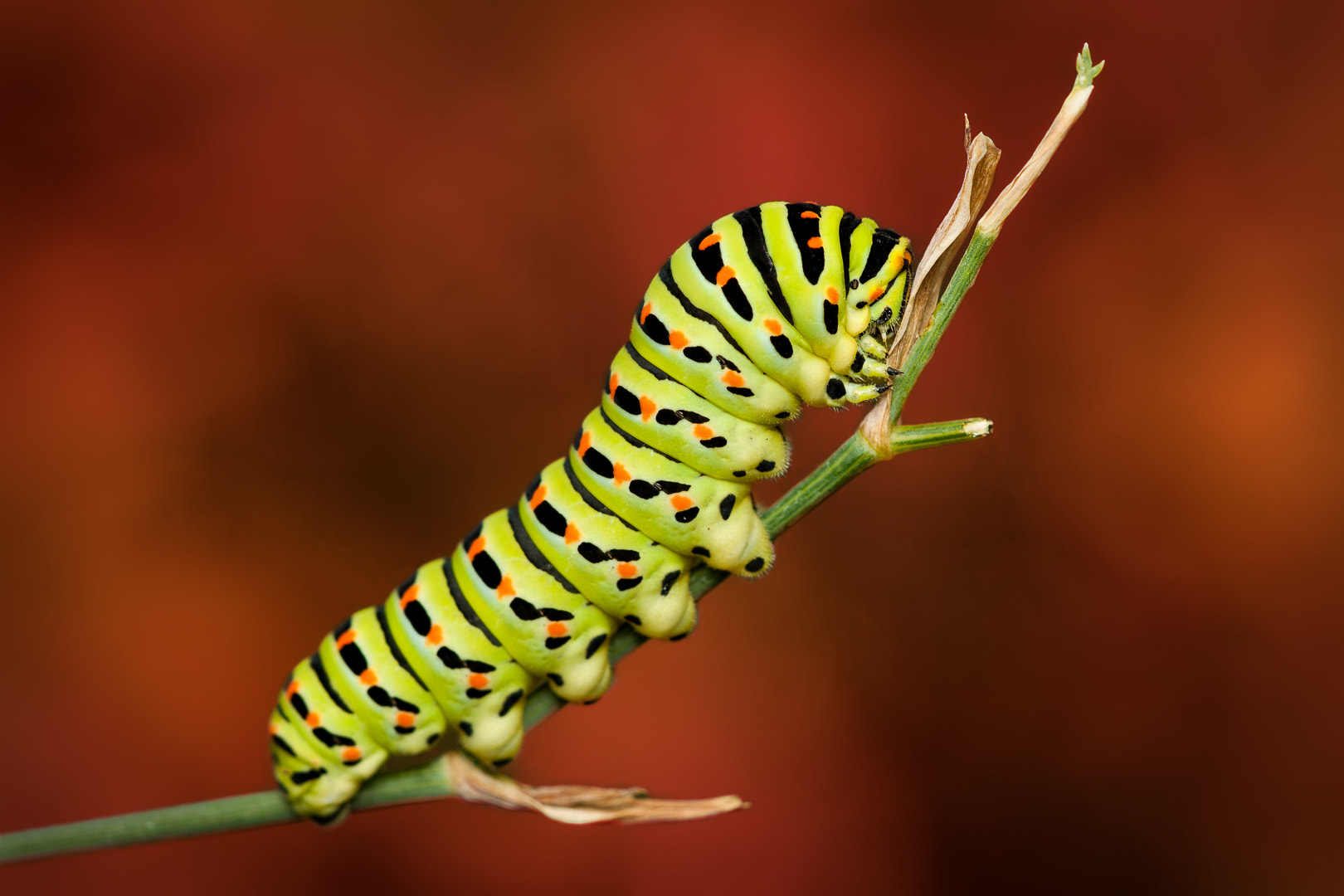 Photograph Macaon Caterpillar by Andres Gutierrez on 500px