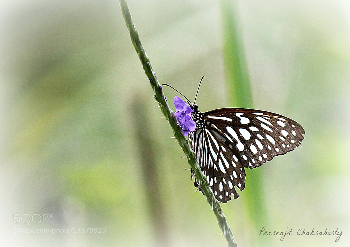 Photograph white monarch by Prasenjit Chakraborty on 500px