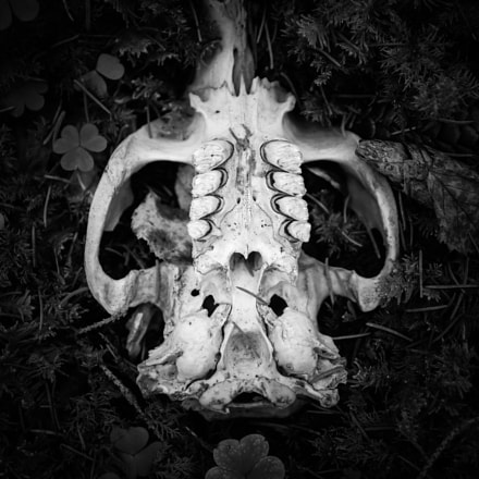 Clover and skull, Canon EOS M3, Canon EF-S 17-55mm f/2.8 IS USM