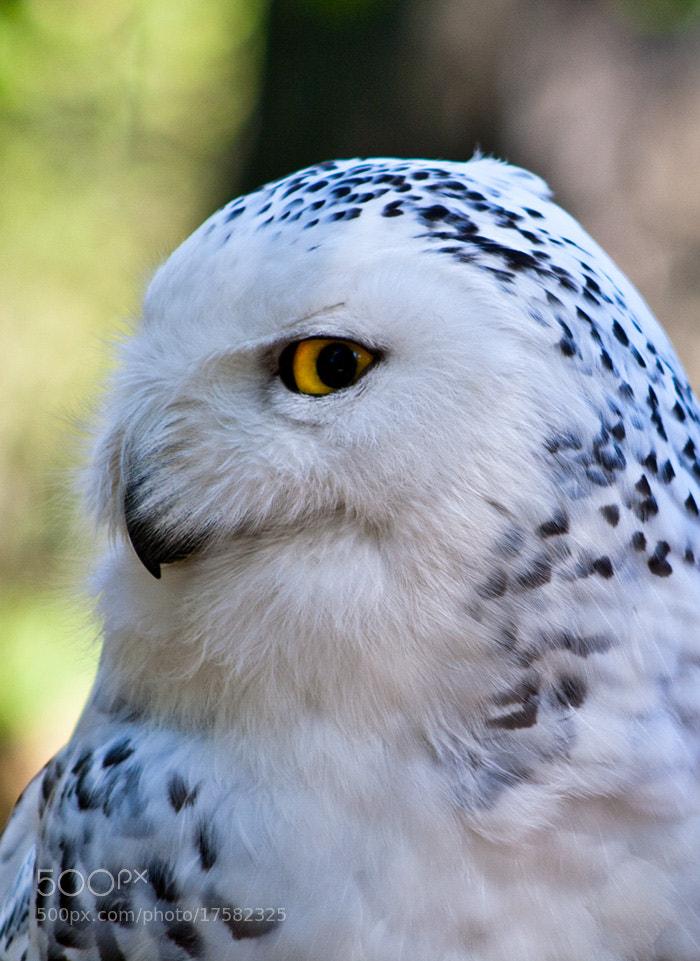 Photograph snow owl by Soňa Kovalčíková on 500px