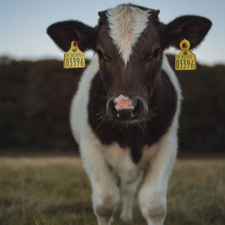 Cow, Canon EOS 7D, Sigma 30mm f/1.4 DC HSM