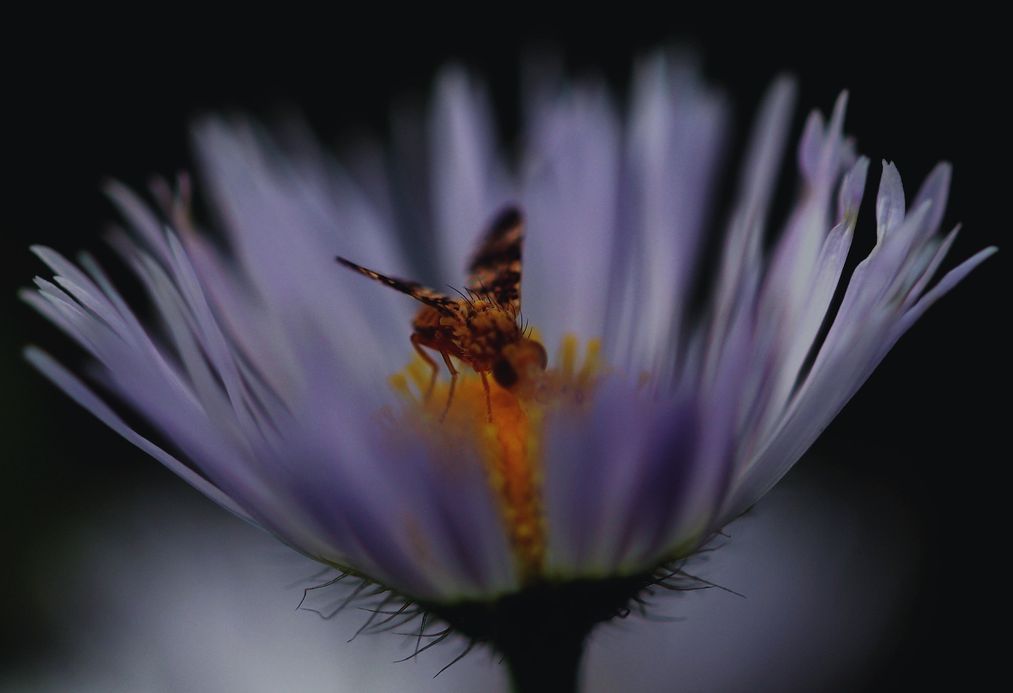 Photograph Hoverfly by Sabine Kraniger on 500px