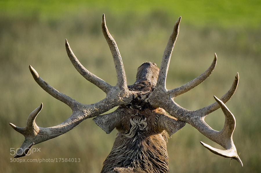 Photograph red stag by CHRISTIAN GUERDER on 500px