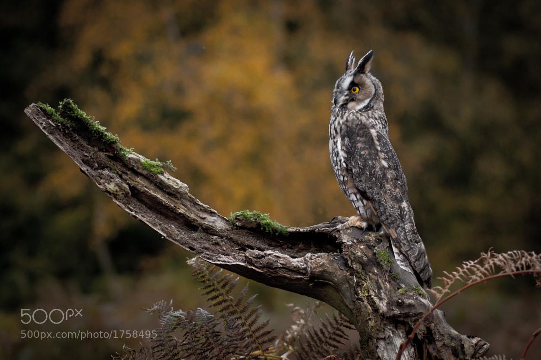 Photograph Long Eared Owl by Steve Bryson on 500px
