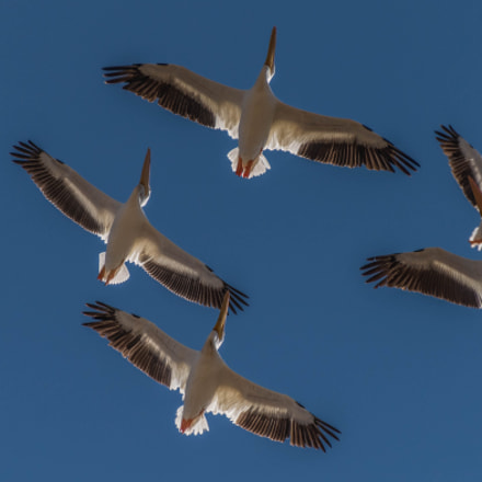 Pelicans Flying Over the, Nikon D810, Sigma 50-500mm F4.5-6.3 DG OS HSM