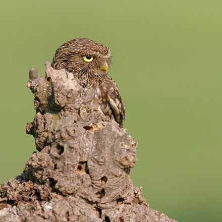 Camouflage,  Little owl. , Canon EOS-1D X, Canon EF 600mm f/4.0L IS II USM