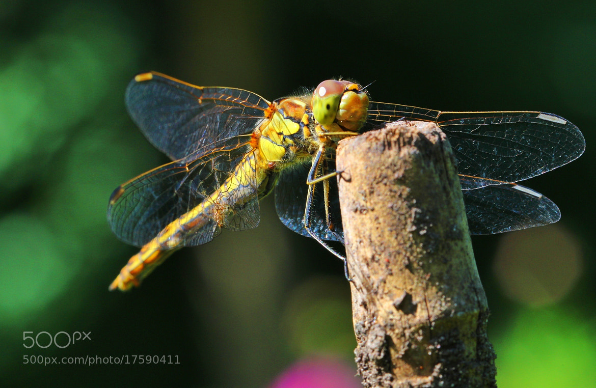 Photograph Dragonfly by Sabine Kraniger on 500px