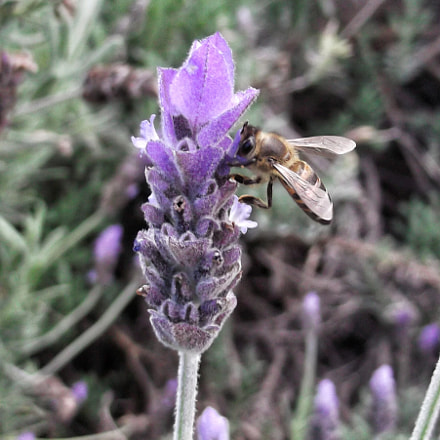 Bee on Lavender Flower, Fujifilm FinePix L30