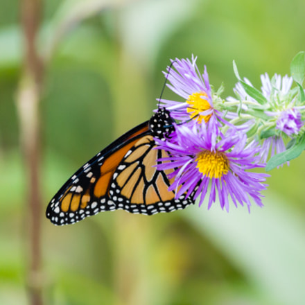 Monarch Butterfly on a, Canon EOS REBEL T3, Canon EF 100-400mm f/4.5-5.6L IS