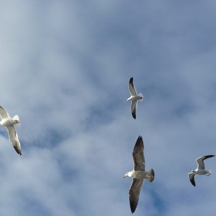 Seagulls Flying, Panasonic DMC-FZ35
