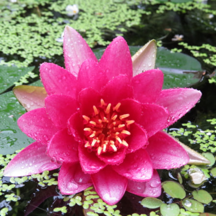 Pink waterlily covered with, Canon POWERSHOT SX50 HS