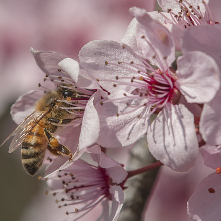 Bee at work, Canon EOS 40D, Tamron SP AF 180mm f/3.5 Di Macro