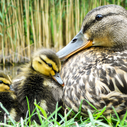 Lovely Duck Family, Nikon COOLPIX S3100