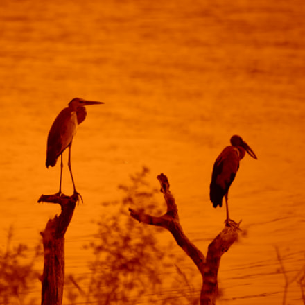 Two storks in the, Canon EOS 6D, Sigma 150-500mm f/5-6.3 APO DG OS HSM
