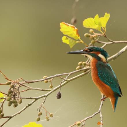 Kingfisher / Martin-pêcheur d'Europe, Canon EOS 7D MARK II, Canon EF 300mm f/2.8L IS