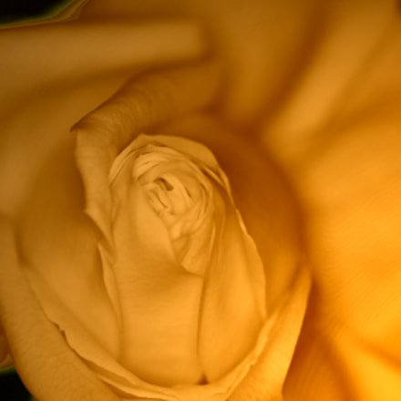 yellow rose, Canon EOS 50D, Sigma 70mm f/2.8 EX DG Macro EF