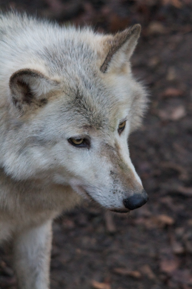 Photograph Wolf by Richard Youden on 500px