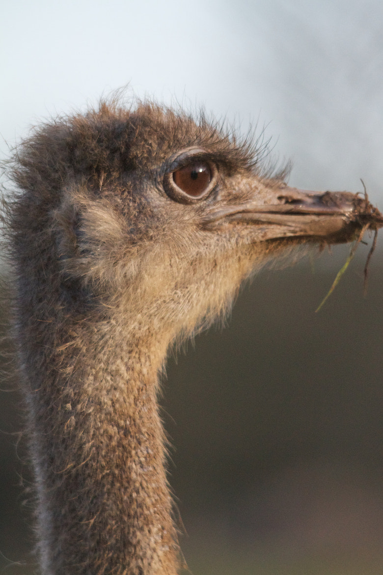 Photograph Ostrich by Richard Youden on 500px