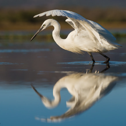 Little Egret,Egretta garzetta,In waterhole, Nikon D4, AF-S VR Zoom-Nikkor 70-200mm f/2.8G IF-ED