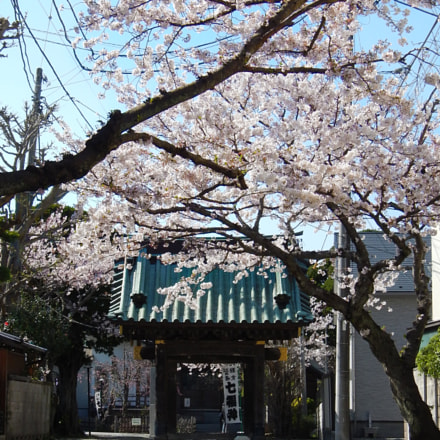 Cherry Blossoms in Kanagawa, Nikon COOLPIX AW110