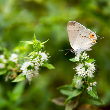 Grey Hairstreak Butterfly, Sony SLT-A57, Sigma 17-70mm F2.8-4.5 (D)