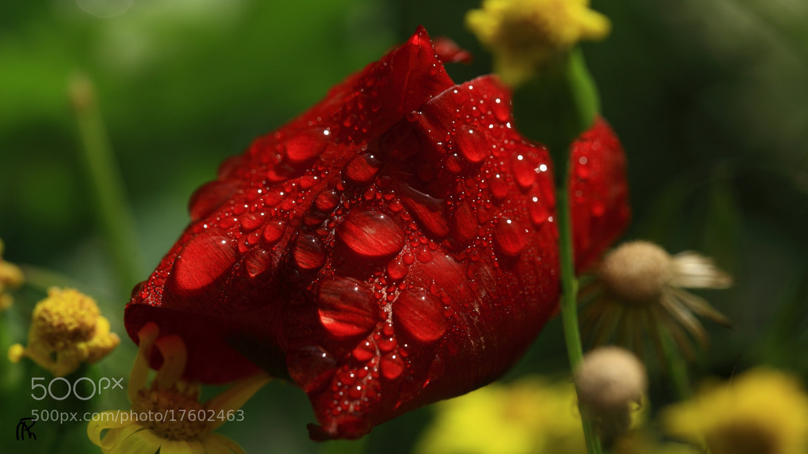 Photograph Red Tears by Mehrdad Paya on 500px