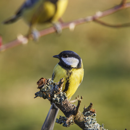 The great tit, Canon EOS 5D MARK III, Sigma 100-300mm f/4