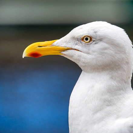 seagull, Canon EOS 6D, Canon EF 70-300mm f/4-5.6L IS USM