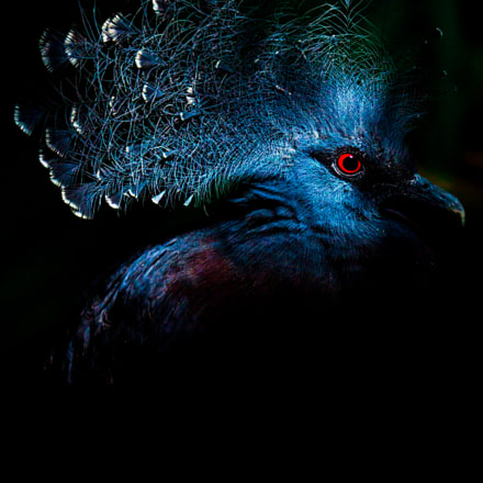 Victoria Crowned Pigeon, Canon EOS 550D, Canon EF 70-300mm f/4-5.6 IS USM