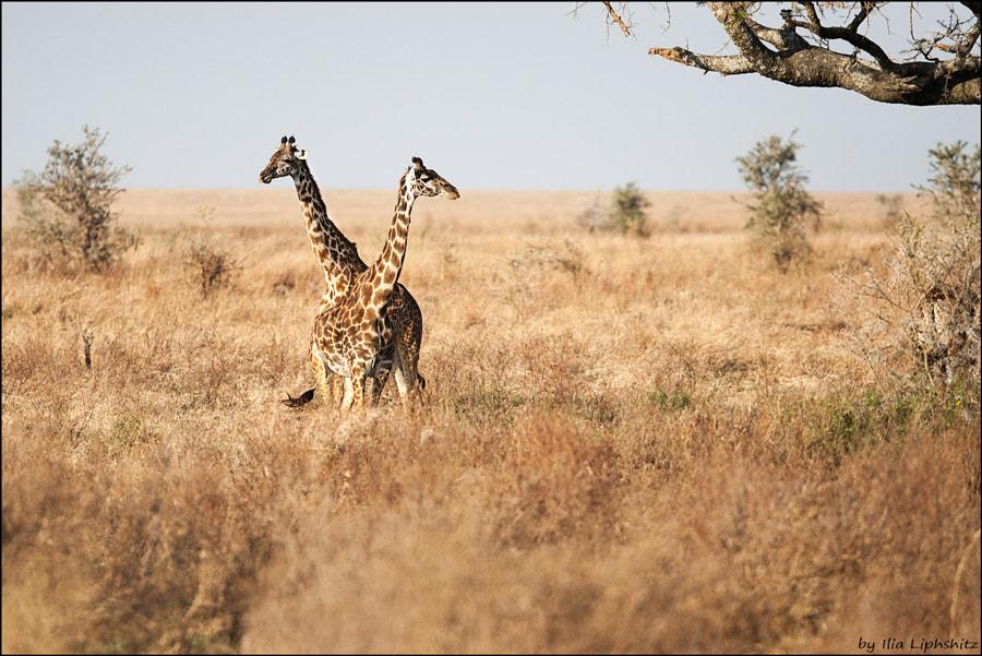 Giraffes of Serengeti №4