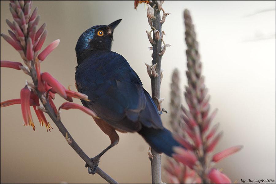 Hildebrandt's starling №2