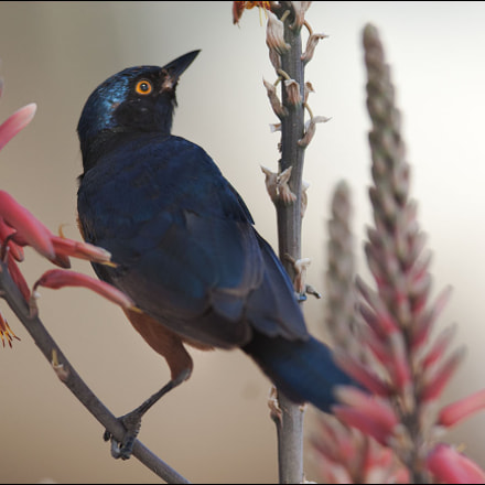 Hildebrandt's starling №2, Canon EOS-1D MARK III, Canon EF 300mm f/2.8L IS
