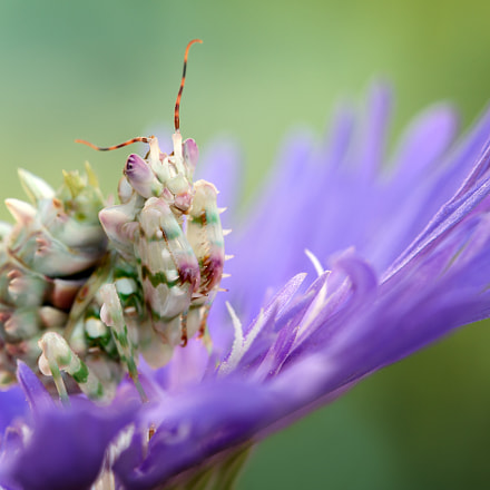 Spiny flower mantis, Canon EOS 5D MARK III, Canon EF 100mm f/2.8L Macro IS USM
