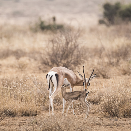 Thomson's gazelle, Canon EOS 80D, 150-600mm F5-6.3 DG OS HSM | Contemporary 015