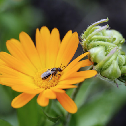 Wasp on a marigold flower