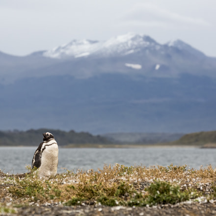 Lone Penguin, Canon EOS 5D MARK III, Canon EF 70-300mm f/4-5.6L IS USM